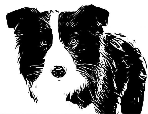 border collie1